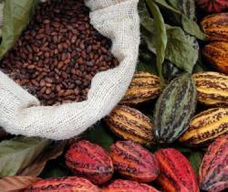 Cuál es el cacao más apreciado en el mundo?