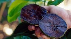 Zapote negro: la fruta que sabe a budín de chocolate